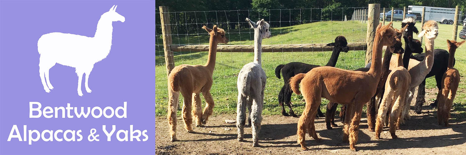 Bentwood Alpacas and Yaks at On Farm Fest