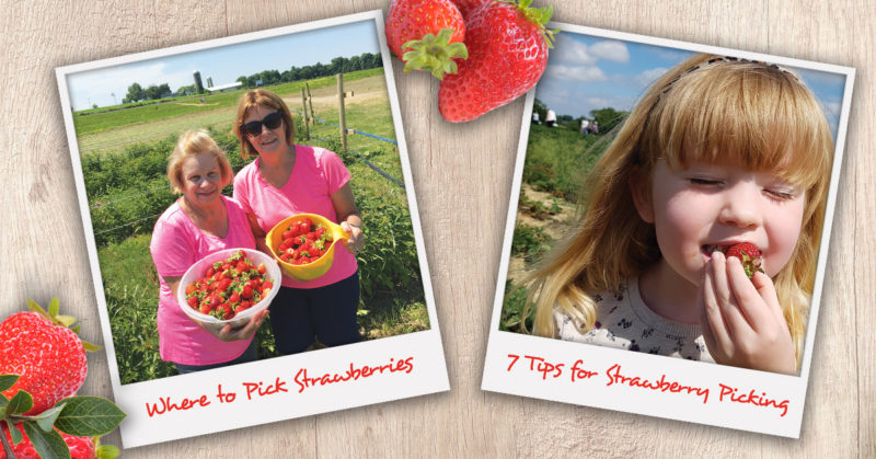 Where to go strawberry picking in Syracuse and 7 best tips for picking strawberries